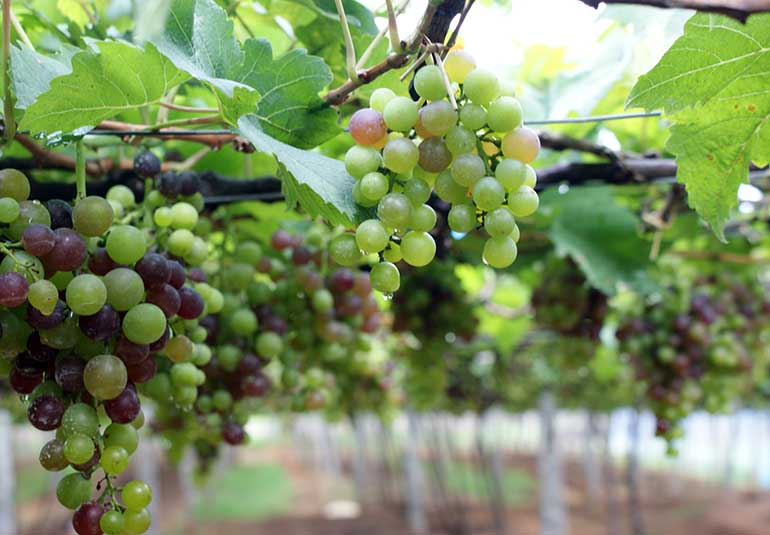 Are Indian Wines Here To Stay?